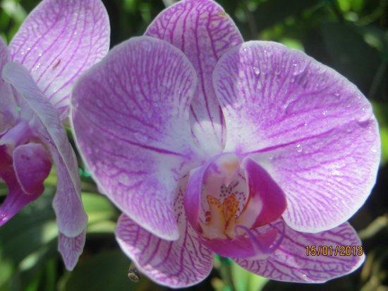 Phuket Botanic Garden : Orchid garden