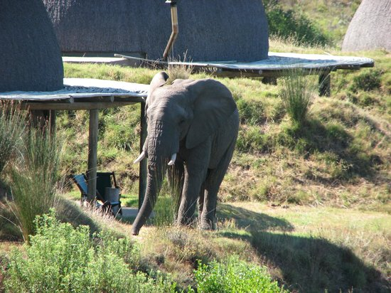 Gondwana Game Reserve: Elephant bull in front of one of the Kwena Huts