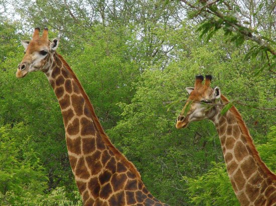 Elandela Private Game Reserve: meeting giraffes around