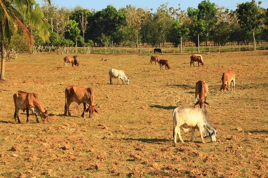 Phukumhom: Cattle farm