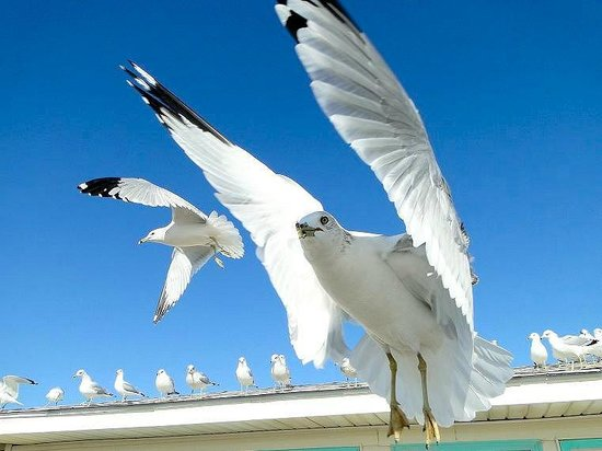 Surf City, Carolina del Norte:                   I enjoy feeding the sea gulls