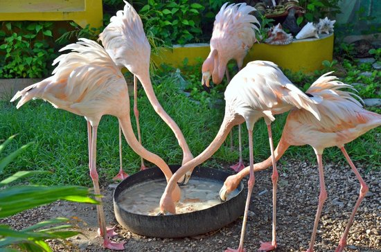 Bamboo Bali Bonaire - Boutique Resort: a local's pet flamingo's