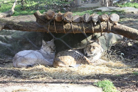Nashville Zoo: Eurasian Lynx