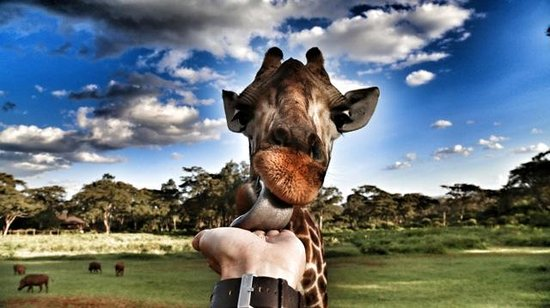 ‪‪Giraffe Manor‬:                                     The incomparable wonder of feeding a giraffe