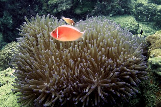 Rainbow Divers-Phu Quoc: Clown fish - photo by yellowshirts