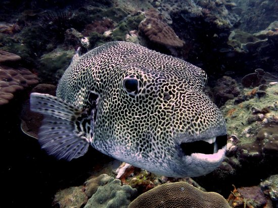 Rainbow Divers-Phu Quoc: Large starred/spotted pufferfish  - photo by yellowshirts