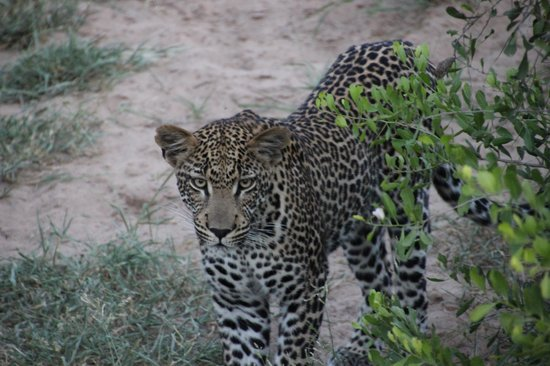 Tanda Tula Safari Camp:                   Leopard