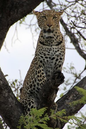 Tanda Tula Safari Camp :                   leopard
