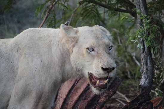 Tanda Tula Safari Camp :                   Rare White Lion