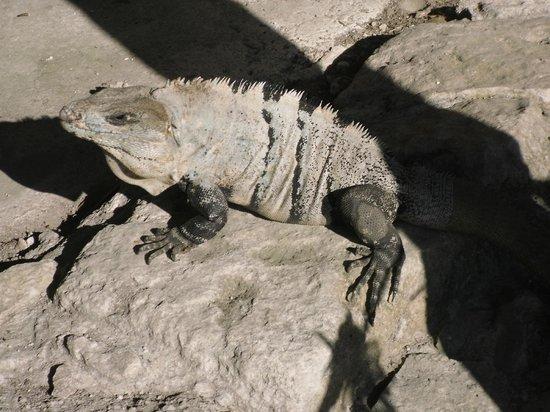 San Gervasio Mayan Archaeological Site: A Fat Iguana