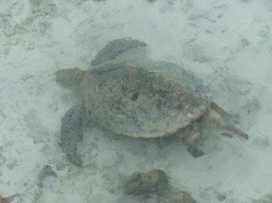 Pom Pom Island Resort & Spa:                   turtle from the pier