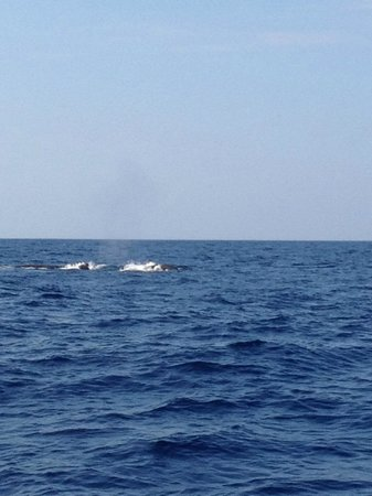 Kona Ocean Adventures :                   whales!