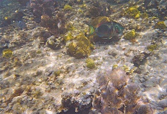 Scott Beach: stoplight parrotfish