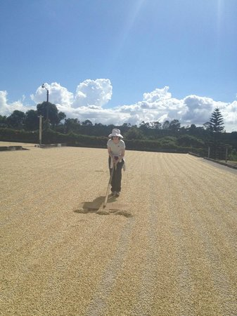 Doka Estate Coffee Tour:                   Fun on the tour: mixing coffee beans (drying in the sun for 3 day)s
