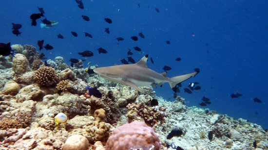 Kuramathi Island Resort: Shark Housereef (June 2012)