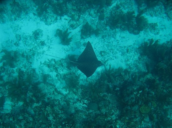 Hamanasi Adventure and Dive Resort:                   Spotted Eagle Ray
