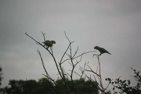 Hamanasi Adventure and Dive Resort:                   Red-Lored Parrots