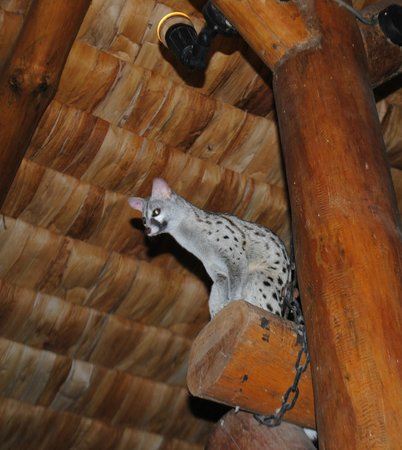 Ndutu Safari Lodge:                   There's a Genet (wild cat) that hangs out in the main dining room of the lodge