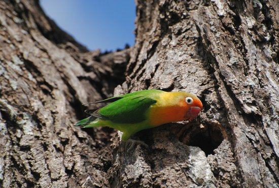 Ndutu Safari Lodge:                   There's a tree right outside the main lodge that attracts Fischer's Lovebirds,