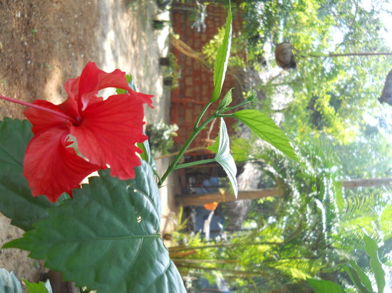 Marari Dreamz: hibiscus in garden