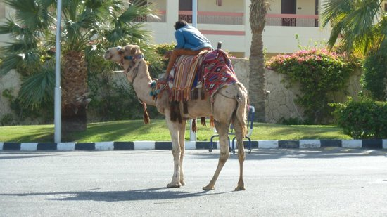 Hilton Sharks Bay Resort: Camel Ride Anyone...!