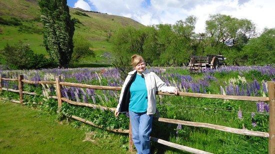 Estancia Nibepo Aike: las flores se llaman lupines