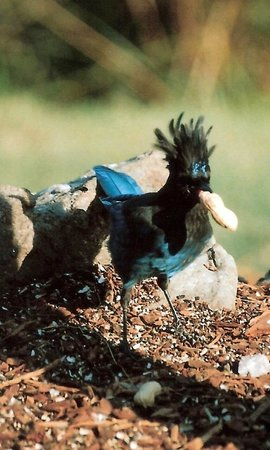 Otters Pond Bed and Breakfast: Hello! Steller's Jay grabs his breakfast