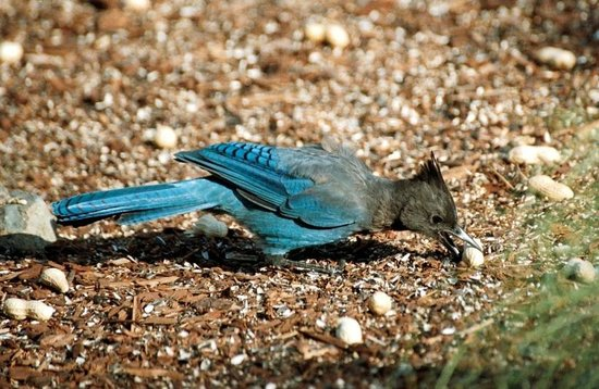 Otters Pond Bed and Breakfast: Steller's Jay a daily visitor