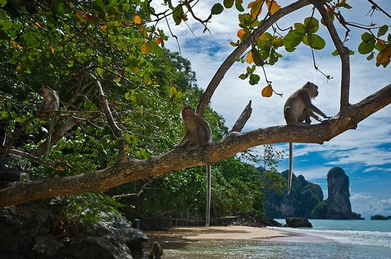 Aonang Phu Petra Resort, Krabi Thailand:                   Beach monkeys nearby are quite entertaining.