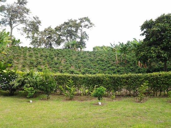 Hacienda Combia: Plantaciones de Cafe