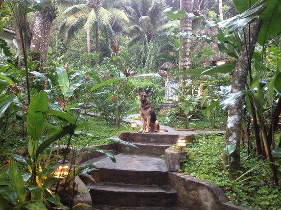 Villas Pico Bonito:                   Ace the jungle dog