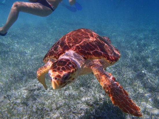 San Pedro, Belize:                   Sea Turtle