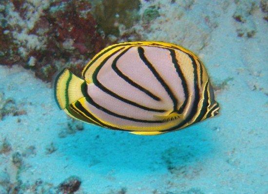 Diving Ocean Dahab: pesce angelo