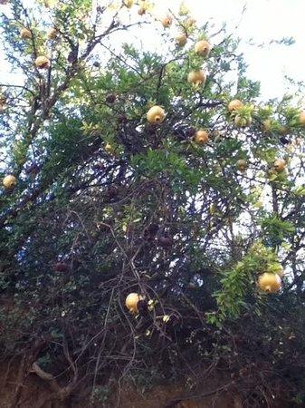 Thezan-Les-Beziers, France :                   Pomegranet trees all around Thezan