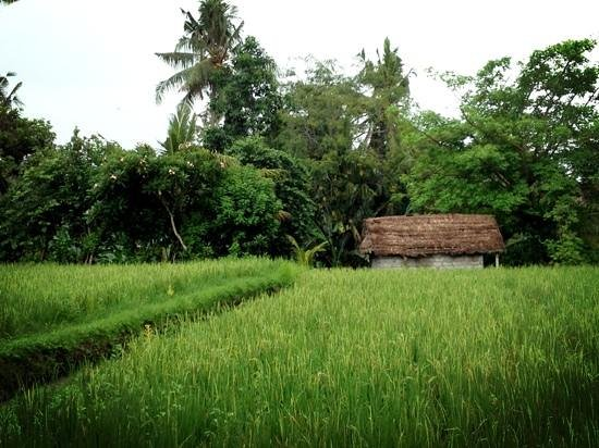 Bayu Guest House:                                     from the ground floor Rama room I had this view of the rice