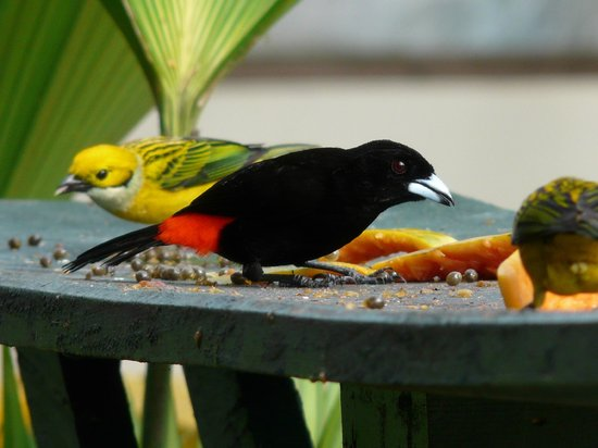 Las Cruces Biological Station: Colorful Tanagers