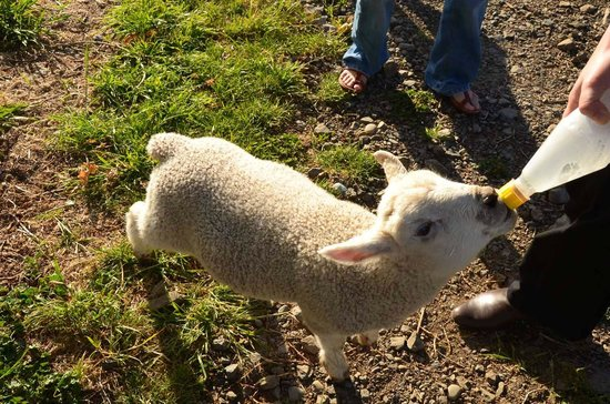 Kawatea Farmstay: Feed the sheep!
