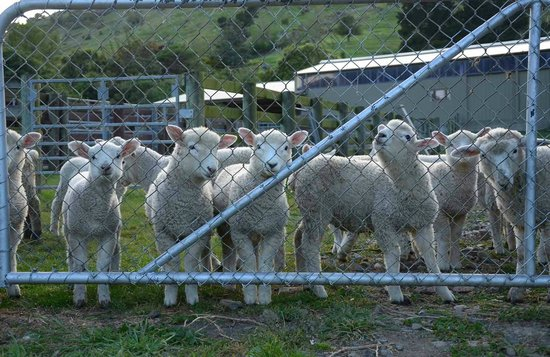 Kawatea Farmstay: More sheep