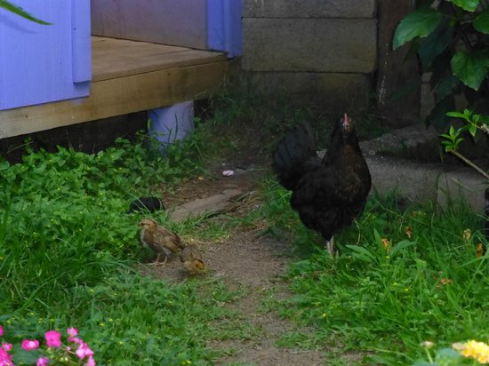 Kaimana Inn Hotel & Restaurant: The local family of hens and chicks grace our presence. :)