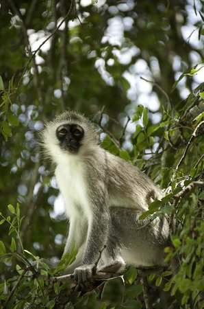 Motswari Private Game Reserve:                   Vervet Monkey