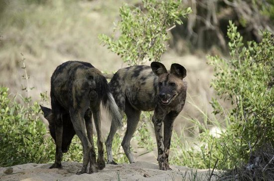 Motswari Private Game Reserve :                   Wild Dog