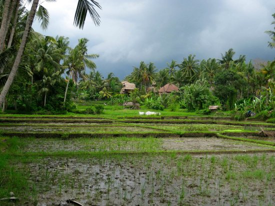 The Ubud Village Resort & Spa: Rice fields
