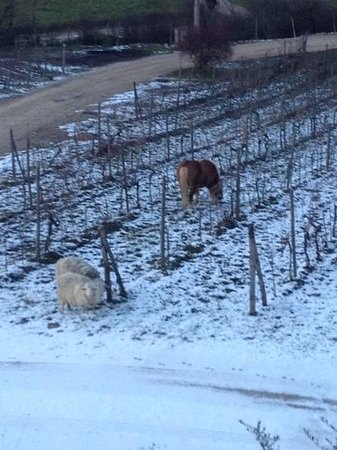 Florence and Tuscany Tours by Florapromotuscany:                   horses at the vineyard!