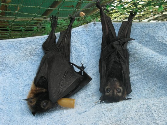 The Bat Hospital Visitor Centre:                   Orphaned baby spectacled flying foxes