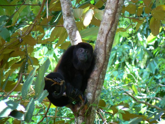 Liquid Magic Surf Resort: Howler Monkey