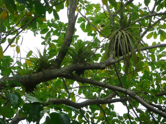 St. Lucia Rain Forest : Schmarotzerpflanzen