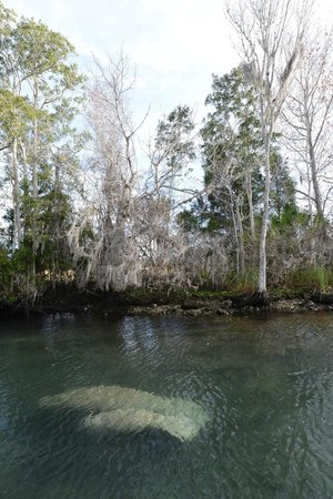 Plantation on Crystal River: Manatee Excursion