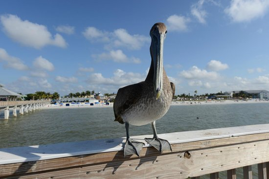 Manatee Bay Inn: Harry the Pelican