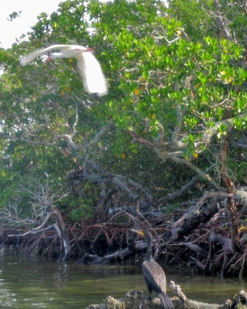 Adventures Kayaking: Great Egret