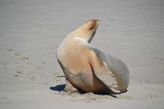 Kangaroo Island Odysseys: Leone marino